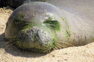 COURTESY HAWAII MARINE ANIMAL RESPONSE                                 RO28, or Pohaku, slept on a West Oahu beach and was looking a little green prior to molting.