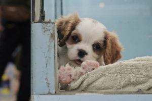 ASSOCIATED PRESS                                 A dog was seen at a pet shop in Hong Kong, Thursday. Pet cats and dogs cannot pass the new coronavirus to humans, but they can test positive for low levels of the pathogen if they catch it from their owner.