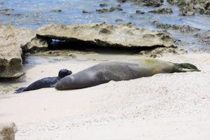 COURTESY NOAA FISHERIES                                 A monk seal pup is seen with his mom.