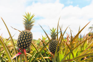 BRYAN BERKOWITZ / SPECIAL TO THE STAR-ADVERTISER                                 Maui Land and Pineapple Co. narrowed its first-quarter 2020 loss to $1.07 million from $1.1 million in the year-earlier quarter even as its revenue declined.