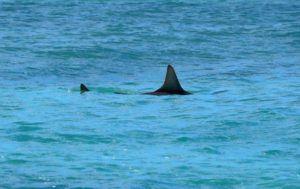 JAMM AQUINO / JAQUINO@STARADVERTISER.COM                                 Shark warning signs were posted at Kaimana Beach, today, in Waikiki as several sandbar sharks fed on schools of baitfish a few dozen yards from shore.
