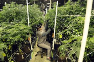 ASSOCIATED PRESS                                 Heather Randazzo, a grow employee at Compassionate Care Foundation's medical marijuana dispensary, trims leaves off marijuana plants in the company's grow house in Egg Harbor Township, N.J., in 2019.