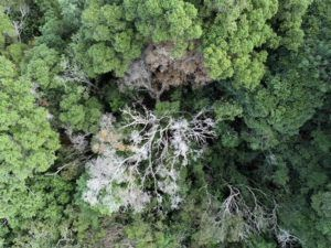 COURTESY DLNR                                 Rapid ohia death has been discovered in a centuries-old tree in the Kokee area of northwest Kauai.
