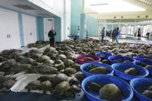 ASSOCIATED PRESS                                 Thousands of Atlantic green sea turtles and Kemp's ridley sea turtles suffering from cold stun are laid out to recover Tuesday at the South Padre Island Convention Center on South Padre Island, Texas.