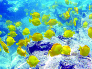 COURTESY OREGON STATE UNIVERSITY VIA AP                                 A school of yellow tang off the coast of Hawaii.