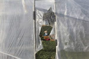 ASSOCIATED PRESS                                 A migrant worker worked inside a greenhouse at a farm in Pocheon, South Korea, on Feb. 8. Activists and workers say migrant workers in Pocheon work 10 to 15 hours a day, with only two Saturdays off per month. They earn around $1,300-1,600 per month, well below the legal minimum wage their contracts are supposed to ensure.