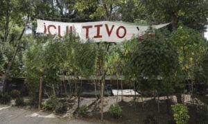 ASSOCIATED PRESS / NOVEMBER 19                                 Marijuana plants grow at a makeshift camp outside of the Senate building in Mexico City.