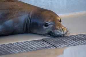 COURTESY SHEILA LATTA/TMMC                                 Mele, a young female Hawaiian monk seal from Oahu, at the rehabilitation pool pen at The Marine Mammal Center's Ke Kai Ola, a hospital dedicated to the endangered seals in Kona.