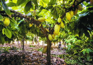 CINDY ELLEN RUSSELL / DEC. 16, 2019                                 A $2.5 million grant program in Hawaii has assisted 105 small farms across Maui County. Here, cacao pods hang from trees on a Maui farm in 2019.