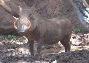 COURTESY HONOLULU ZOO                                 Pua, a female warthog at the Honolulu Zoo, died due to complications associated with age.
