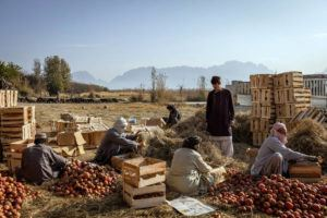 NEW YORK TIMES / 2020                                 Farm workers pack pomegranates in the Arghandab district of Kandahar Province, Afghaniostan.