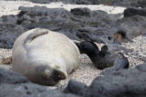COURTESY NPS/GLAUCO PUIG-SANTANA/NOAA                                 A new monk seal pup was born at Kalaupapa National Historical Park this month.