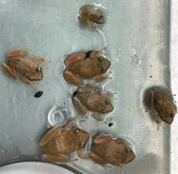 COURTESY DLNR                                 Coqui frogs caught in Waimanalo.