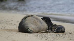 DIANE S. W. LEE / DLEE@STARADVERTISER.COM                                 Hawaiian monk seal RK96, also known as Kaiwi, and her unnamed pup were seen taking a nap at Kaimana Beach in Waikiki on Thursday, May 6.