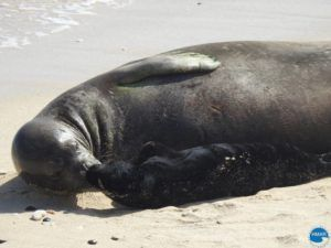 COURTESY HAWAII MARINE ANIMAL RESPONSE                                 Another monk seal pup has been born at an undisclosed location on Oahu.