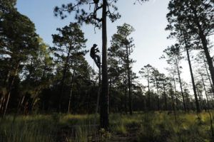 ASSOCIATED PRESS                                 Wildlife biologist Brian Ball, protected by a safety harness, examines a nesting cavity used by a red-cockaded woodpecker at Fort Bragg in North Carolina in 2019. The woodpecker was one of the first birds protected under the Endangered Species Act of 1973.