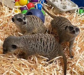"""COURTESY HONOLULU ZOO                                 Meerkats, made popular by Disney's """"The Lion King"""" and other movies, are a type of small burrowing mongoose found in the deserts of Africa, recognizable by their upright """"sentinel"""" posture while on the lookout for predators."""