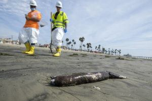 ASSOCIATED PRESS                                 Workers in protective suits walk by as dead marine life washed off on a beach after an oil spill in Newport Beach, Calif., on Wednesday.