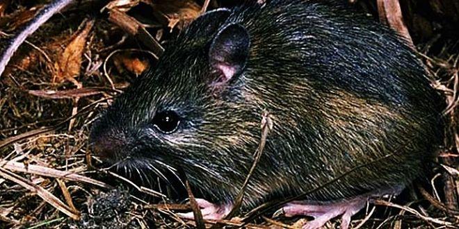 parabola şoarecului
