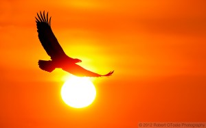 Eagle_Banking_against_sun_2012_Robert_OToole_Photography