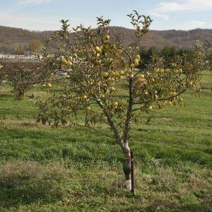 CandyCrisp® Apple  Apple Trees  Stark Bro's