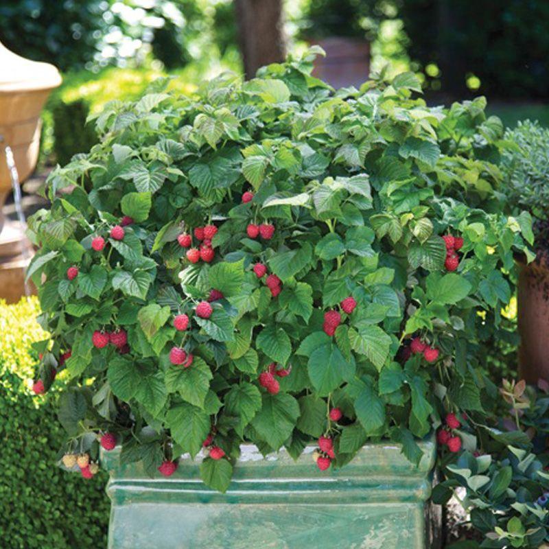 Indoor Berry Plants