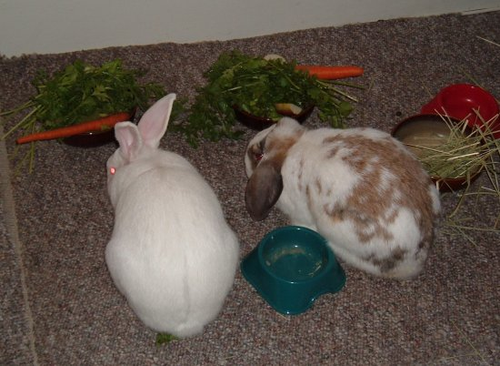 bunnies eating together in the livingroom