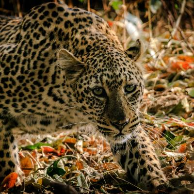 A leopard moving stealthily