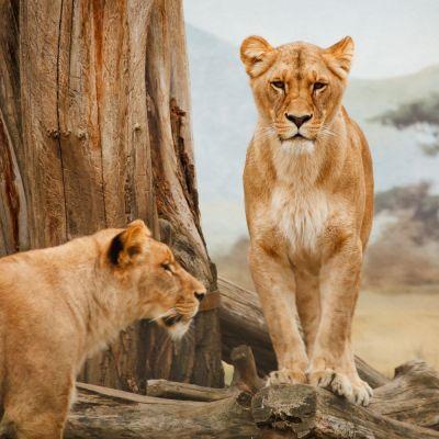 Two lionesses near a fallen tree