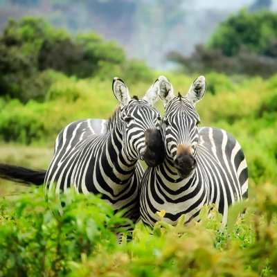 two zebras in the bush