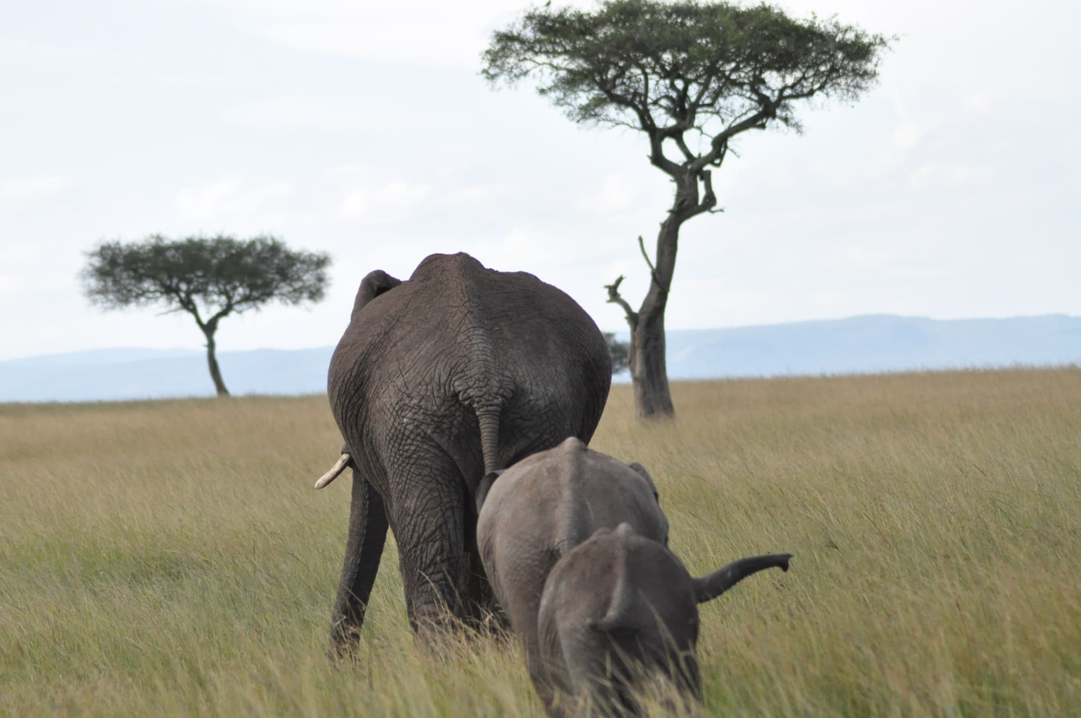 Two baby elephants following their mother in the savannah
