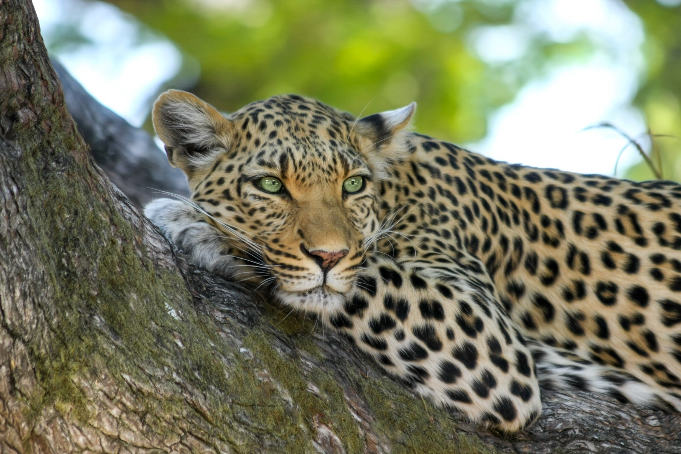 A leopard sleeping on a tree branch