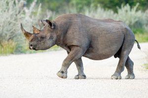 A black rhino walking