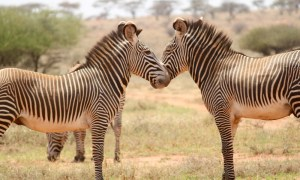 Two Grevy's zebra standing across each other