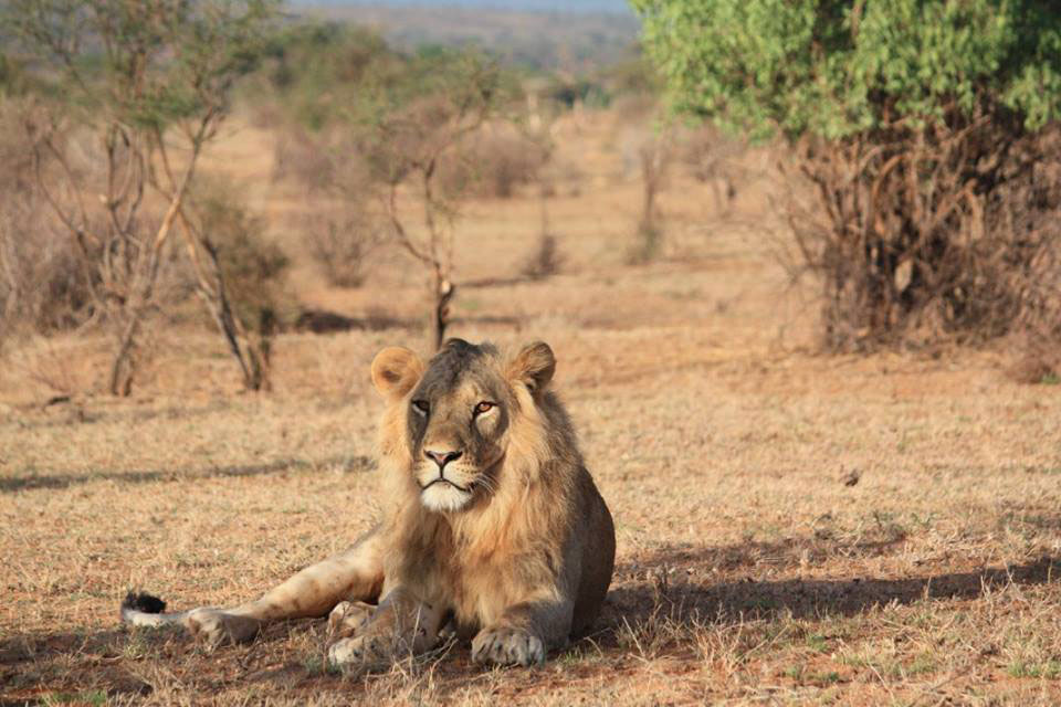 A lion in Samburu National Reserve