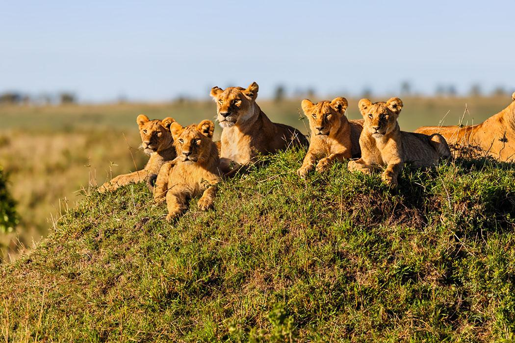 Lion cubs in Ngorongoro Conservation Area
