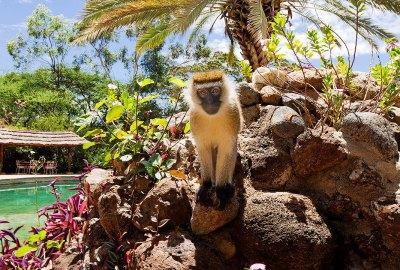 monkey-at-amboseli-sopa-lodge