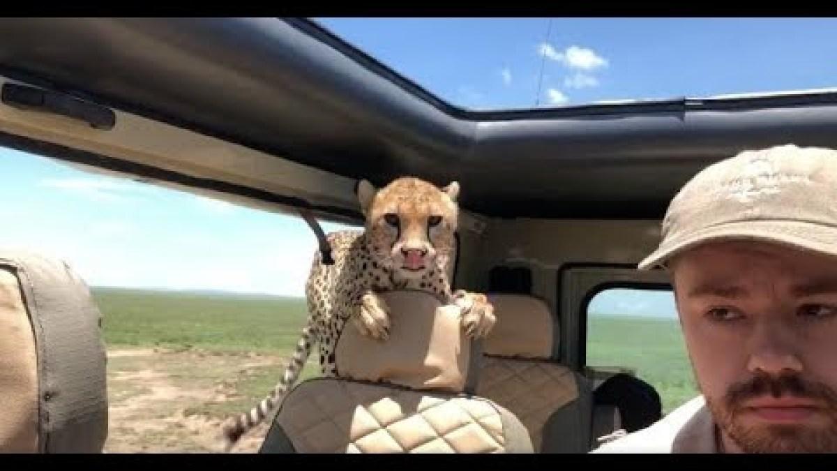 Quand un guépard s'invite dans un véhicule…