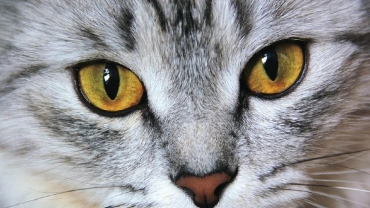 Chirurgie esthétique : Elle fait opérer son chat car elle le trouve « trop moche »