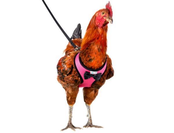 Confinement : Verbalisé par les gendarmes pour avoir promené sa poule en laisse