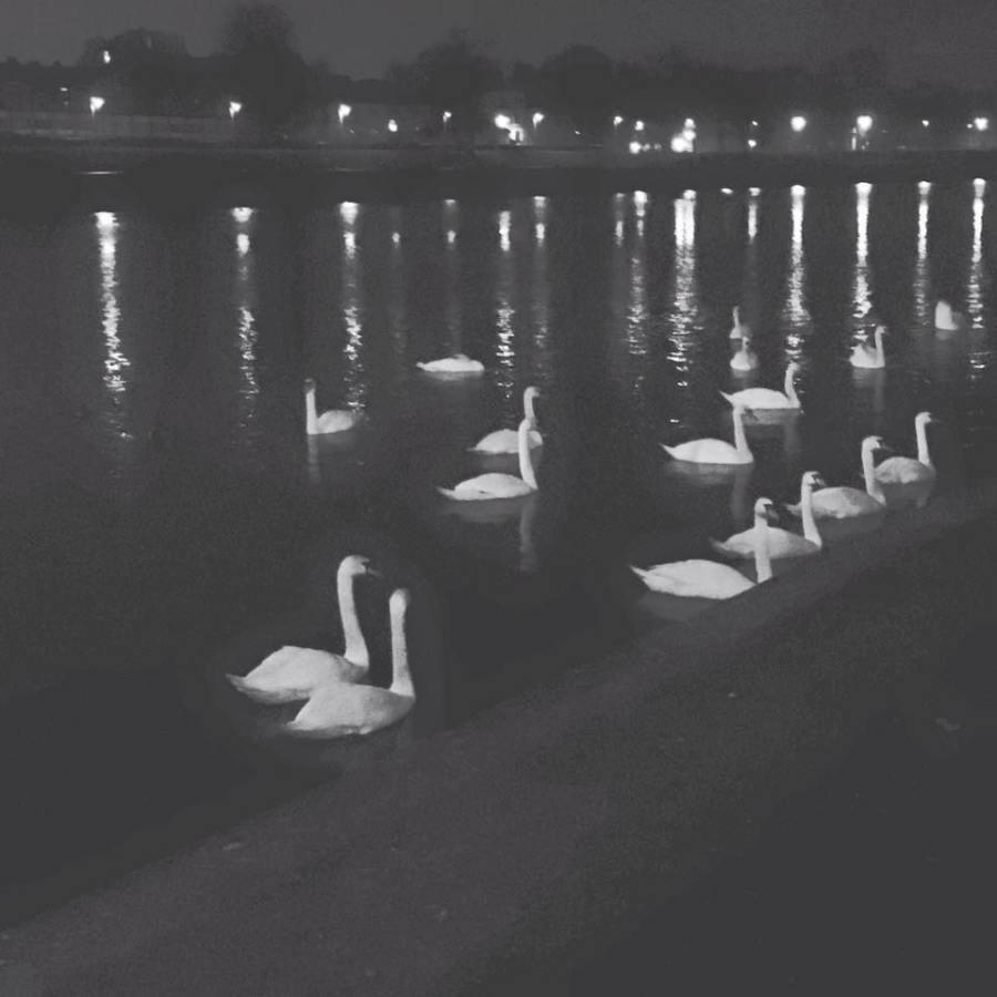 Krakow swans