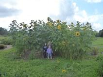 Sun Flower Forest
