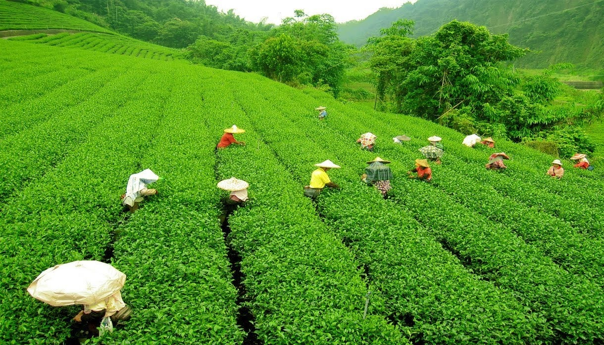 Darjeeling-Tea-plantation