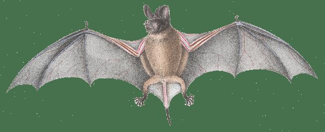 Wrinkle-lipped free-tailed bat