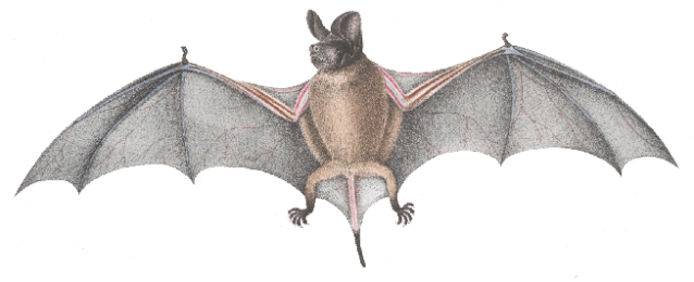 Wrinkle-lipped free-tailed bat