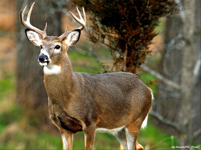 Image result for white tailed deer