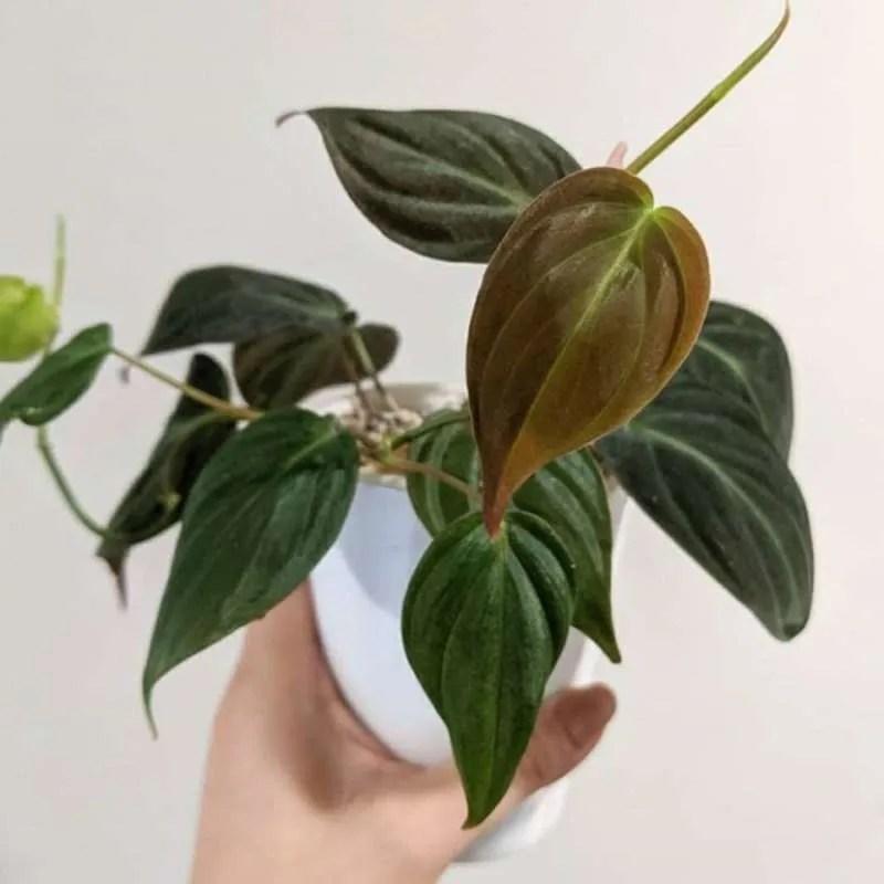 Jual Tanaman Hias Philodendron Micans - Philo Mican Murah Mei 2021   Blibli