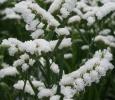 White Starligt Wings, kwekerij van Paasen