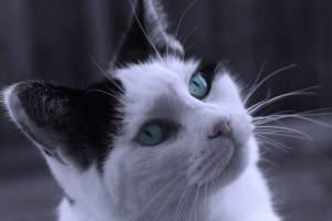 """""""Cat with Blue Eyes"""" courtesy of Anna Langova and http://www.publicdomainpictures.net"""