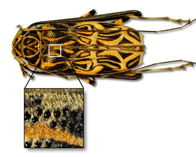 Acrocinus longimanus aus Peru, Länge ca. 61 mm, mit einer Ausschnittvergrößerung der Oberfläche